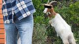 Muž souloží s kozou, děsí se ve slovenské vesnici. Podezření mají kvůli zoufalému mečení