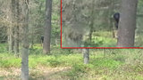 To je Bigfoot! Legendárního chlupatého tvora natočili v Nizozemsku