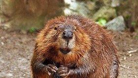 Na Vysočině přibývá bobrů. Hlodavce ale někdo nelegálně loví