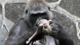 """Z toho bolí u srdce: Gorilí máma se nedokáže rozloučit s mrtvým potomkem. """"Probuď se, moje maličká!"""""""