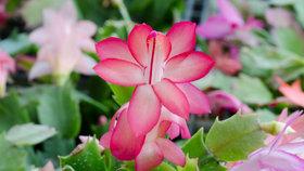 Kaktusy také potřebují péči! Jak je doma rozmnožovat a jak je správně přesadit?