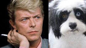 Pejsek Davida Bowieho má stejné oči jako on: Jedno hnědé, druhé modré
