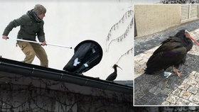 """""""Čekáme, až udělají chybu."""" Týmy ze zoo po celé Praze chytají ibisy"""