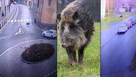 Divoká prasata se proháněla centrem Kolína: Vyběhla z Pekla