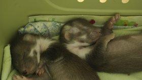 Roztomilá zvířecí miminka: Pražská záchranná stanice slouží jako mateřská školka