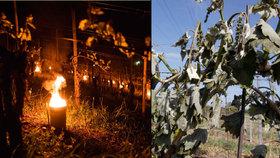 V Česku pomrzlo víno za miliardu. V zahraničí vinicím zatopili