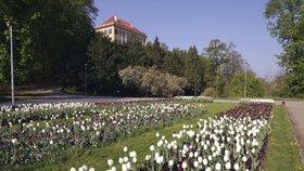 """Tulipány nebo macešky k odběru: Před Šlechtovkou je """"zlikvidují"""" zahradníci"""