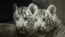 Bohyně jara i dárce dobra. Bílé tygry v Liberci pojmenovali Maia a Shankar