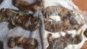 40 mrtvých tygřích mláďat našli v buddhistickém chrámu, skladovali je v mrazáku