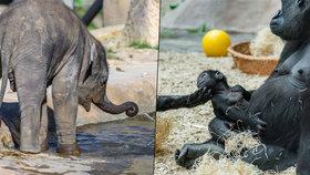 Zvířata v pražské zoo se nenudí, zejména mláďata: Slonice je tank a orangutanka ohnivý mužíček!