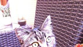 Kočka kavárenská: Novou rasu uvidíte na Žižkově, Karlíně a Smíchově
