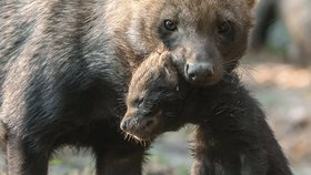 Smečka psů pralesních se rozrostla: V srpnu narozená čtyřčata už opustila noru