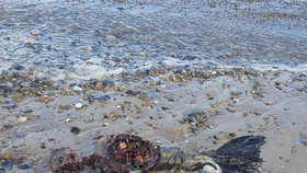 Nález tajuplných ostatků na pláži: Mrtvý tuleň, nebo mořská panna?!