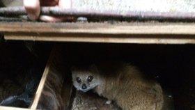 Zoo se připravuje na zimu. Přestěhovala mangusty liščí, chystá se na ptáky