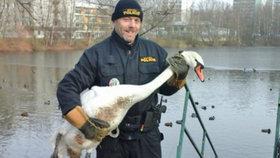 Lidé cpou labutě čerstvým pečivem, což jim nesvědčí: Překrmená zvířata odchytávají strážníci městské policie