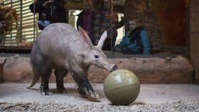 Hrabáč Draco dostal k Vánocům červy v míči: Co dostanou gorily nebo varani?