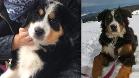 V Krkonoších zmizela psí rodinka: Za nalezení Annie a Maxe odměna 20 tisíc!