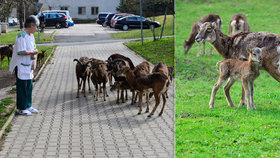 Mufloní stádo se opět rozrostlo: V Thomayerově nemocnici léčí i škodí