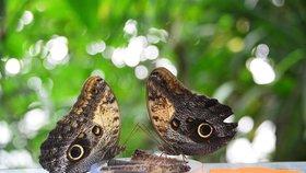 Na motýly v botanické stojí lidé i hodinové fronty. Zatím přišlo 19 tisíc zájemců