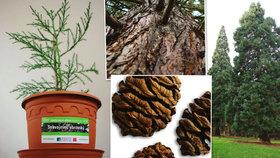Chcete nejmohutnější strom na Zemi? Pražské lesy nabízejí tisíc sazenic sekvojovce