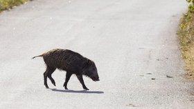 Prasečí mor se šíří: Nemoc na Zlínsku zabila divoké sele
