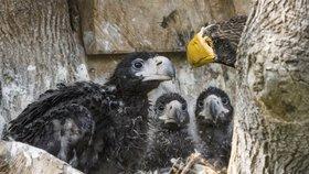 Orlí páreček Matyáš a Matylda jsou skvělí rodiče: Vzorně se starají hned o tři mláďata
