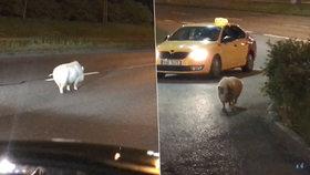 VIDEO: Vyděšené bílé prase na silnici v Praze! Zastavilo na benzince, bojovalo se strážníky