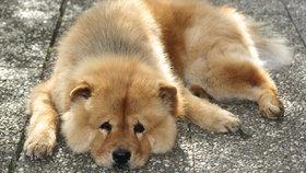 Rumuni načerno posílají do Česka psy. Veterináři varují: Mohou mít vzteklinu