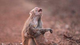 Zoufalství opičí mámy. A pak se stalo něco ještě záhadnějšího, popsal fotograf