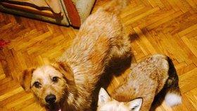 Zachránili lišku z kožešinové farmy a stali se nejlepšími parťáky!