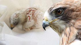Liberecká zoo je první na světě: Odchovala orla nejmenšího!