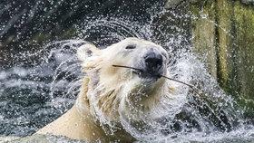 Zoo Praha čeká den ve znamení ledních medvědů. Vznikne tu ledová socha medvíděte