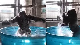 Tak tahle gorila má pořádnou radost z vody! Podívejte se, jak tančí v bazénku