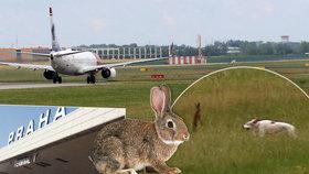 Letadla v Praze ohrožovala zvěř. Amatér na Ruzyni vyfotil zásah psů