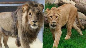 Lvice Kivu se dočkala: Do Brna přicestoval král zvířat Lolek
