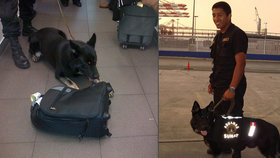 Českého psa cvičeného na drogy zabil v Peru žal: Karo vystopoval kokain i v palicích česneku