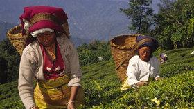 Produkci luxusního čaje ohrožují nepokoje a stávky. Sklizena je jen třetina úrody