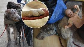 Vlkodav Ray pomáhá handicapovaným. Děti mu můžou na chlupy navlékat i korálky