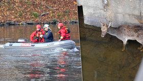 Zmatený daněk se zatoulal pod most Legií. Do bezpečí mu pomohli hasiči