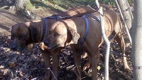 Majitel se chtěl zbavit dvou ridgebacků: Přivázal je ke stromu v Ďáblickém háji