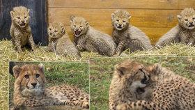 Gepardí mláďata si užívají ve venkovním výběhu: Takhle už vyrostla!