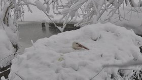 Fotografie čápa na sněhu děsí internet: Je to normální, uklidňují ochránci