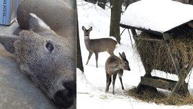 Tenhle srneček se Nového roku nedožil… Ochranáři varují před krmením divoké zvěře