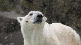 Zoo v New Yorku utratila ledního medvěda Tundru. Hrál si až do poslední chvíle