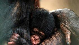 V Pobřeží slonoviny odhalili nelegální obchod s mláďaty šimpanze: Za jednu opičku chtějí pašeráci 300 000
