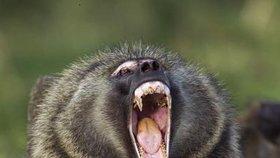 Zívání je známé i v říši zvířat.