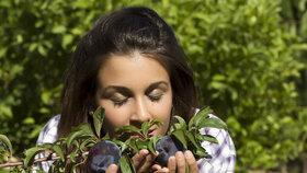 Sběr švestek je potřeba dobře naplánovat, aby neskončily potlučené pod stromem.