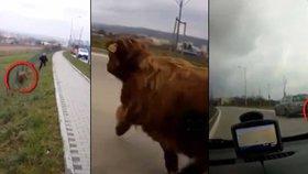 Brněnští policisté pořádali hon na bizona, který utekl z farmy a pohyboval se v ulicích