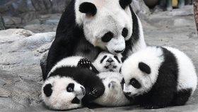To bylo radosti! Pandí miminka z čínské zoo v Kuang-čou jsou po čtyřměsíční odluce konečně zase spolu u mámy!
