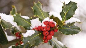 Cesmína je krásná celý rok, ale v zimě na zahradě doslova září její červené bobulky.